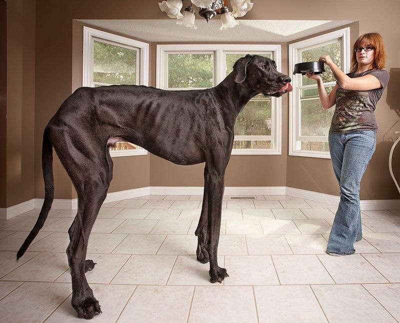 Зевс — самая высокая собака в мире (3)