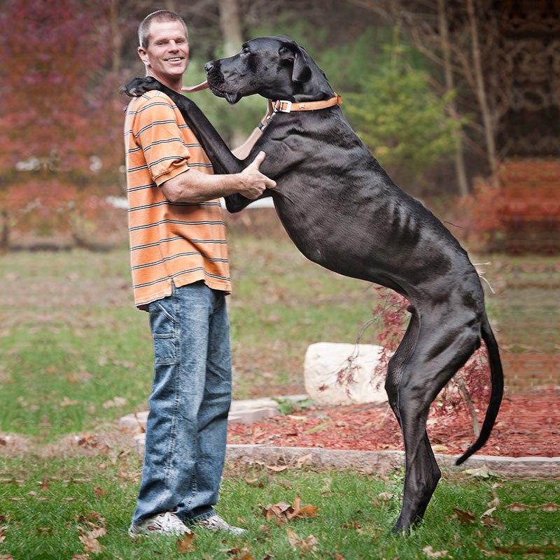 Зевс — самая высокая собака в мире (4)