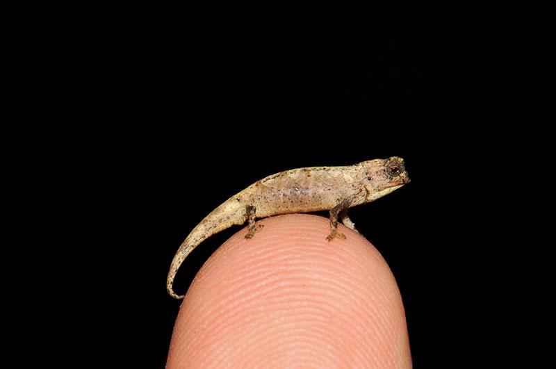 На Мадагаскаре обнаружен новый претендент на звание самой маленькой рептилии в мире